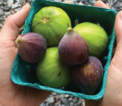 freshly harvested figs celeste and white types