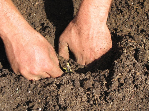 "Make sure that the graft is snugly planted with 2-3"" of soil covering the top bud."