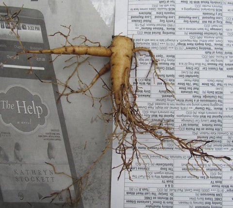 2-year-old herbaceous seedling root which has been 'decapitated', or had its eyes cut off.