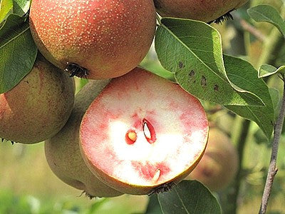 Pear, 'Summer Blood Birne'