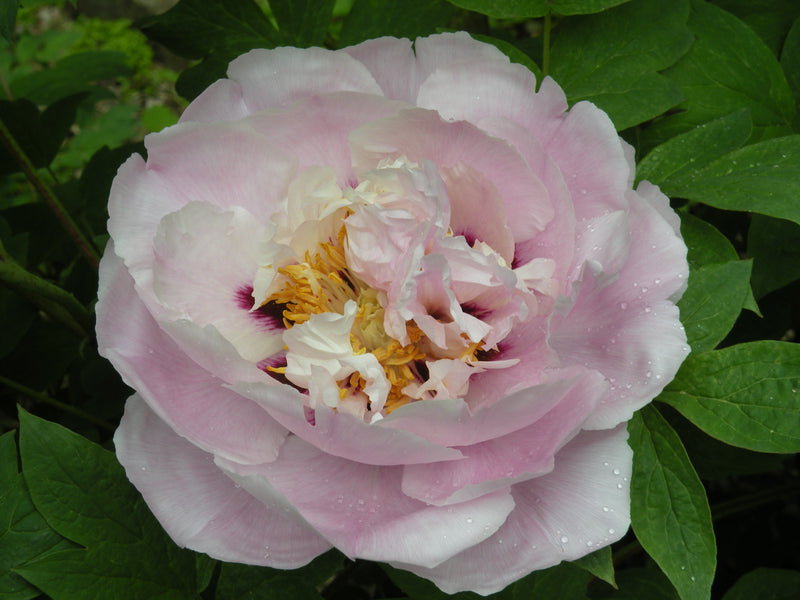 Spring Serenade, tree peony WILL BE AVAILABLE FOR FALL 2021