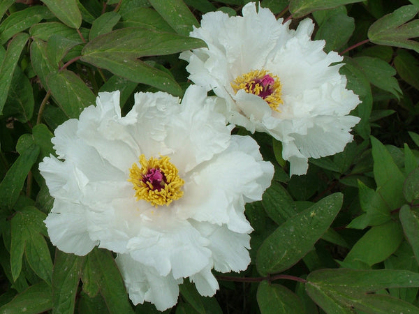 Phoenix White, 8 yr. old Chinese tree peony, standard form