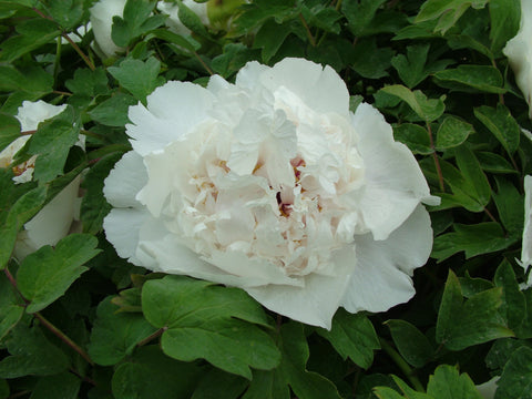 White Crane Lying in the Snow, Chinese tree peony