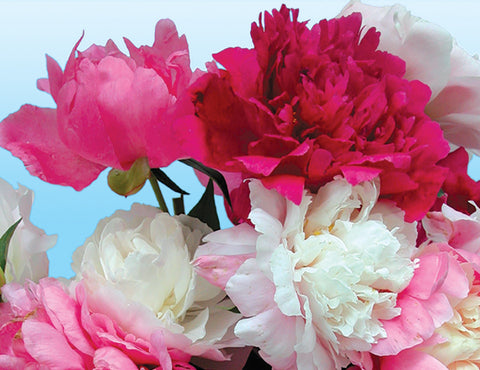 Available Spring- Herbaceous Peony Cutting Collection