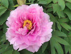 Akashi Bay, Japanese tree peony WILL BE AVAILABLE FOR FALL 2021