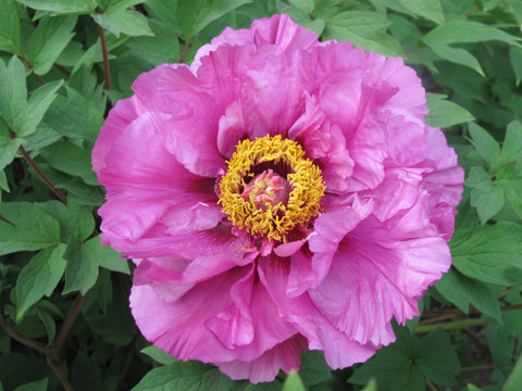 Big Deep Purple, Chinese tree peony