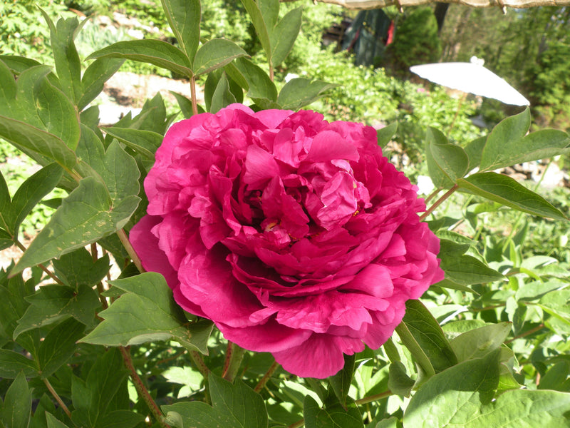 Black Dragon Holds a Splendid Flower, Chinese tree peony AVAILABLE FOR FALL 2021