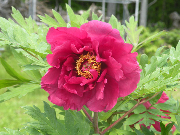 Chinese Dragon, hybrid tree peony