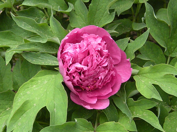 #1 Scholar's Red, Chinese tree peony WILL BE AVAILABLE FOR FALL 2021