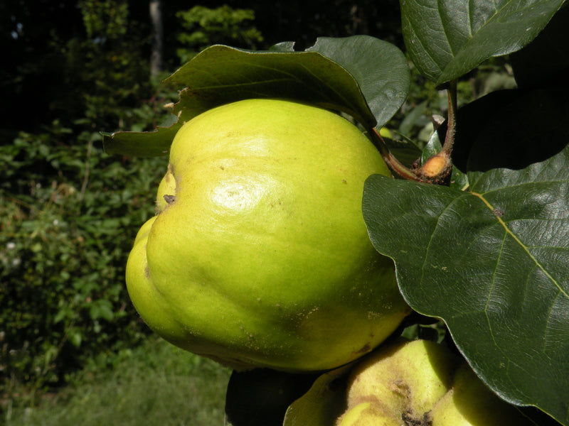 Quince, 'Bourgeault'