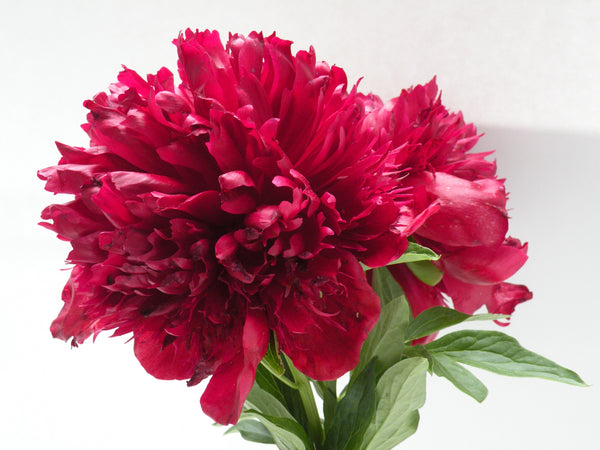 Available in Spring - Red Charm, hybrid herbaceous peony