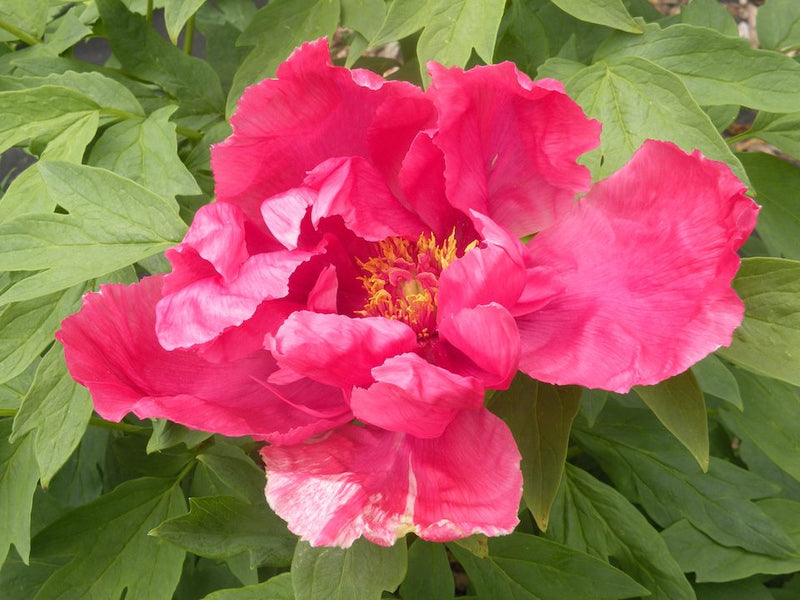 Surprise Reds, Japanese tree peony, 1-2 yr. size