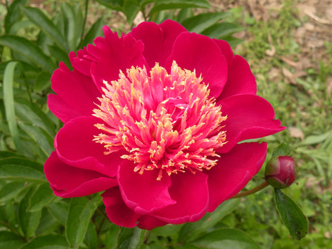Twinkling of the Golden Light, Chinese herbaceous peony