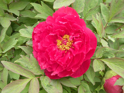 Charming Age, Japanese tree peony WILL BE AVAILABLE FOR FALL 2021