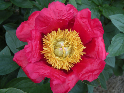 Great Lady, hybrid herbaceous peony