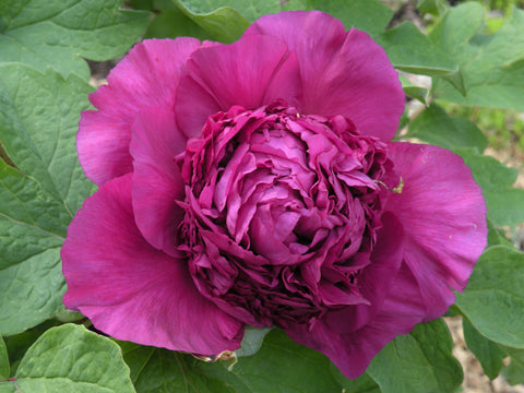 Deep Dark Purple, Chinese tree peony