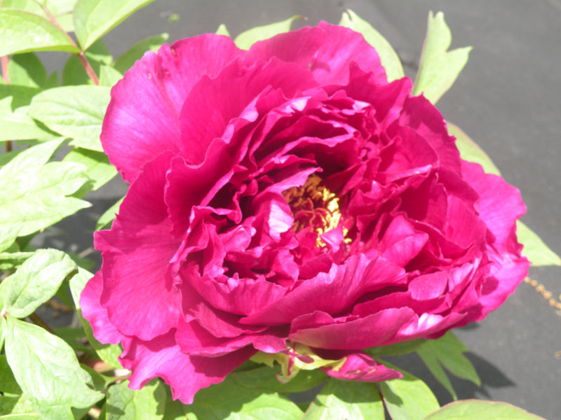 Eight Clouds, Japanese tree peony