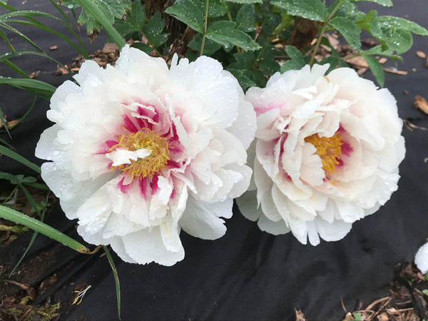 Rosy Cheeks, Chinese rockii tree peony WILL BE AVAILABLE FOR FALL 2021