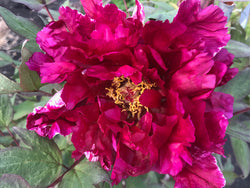 Glittering Purple Brocade, Japanese tree peony WILL BE AVAILABLE FOR FALL 2021