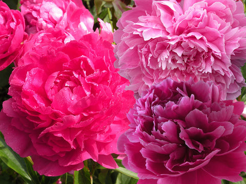 Classic Double Blossom Herbaceous Peony Trio