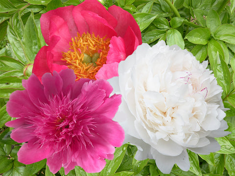 Sequential Bloomer herbaceous peony collection