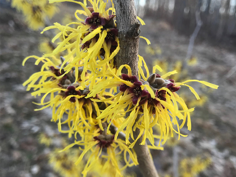 Hamamelis x intermedia, 'Harlow Carr' Witch Hazel