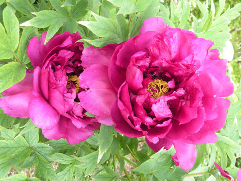 Minister of Flowers, Japanese tree peony