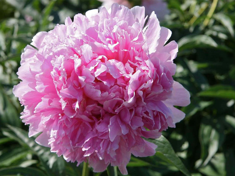 Hermione, heirloom herbaceous peony
