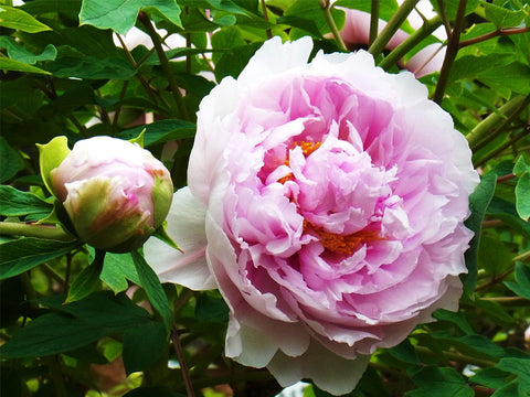 Magnificent Imperial Reign, Japanese tree peony
