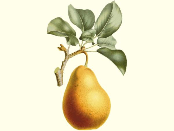 Pear, 'Tennosui'