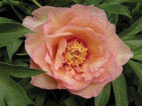 Julia Rose, intersectional 'Itoh' peony
