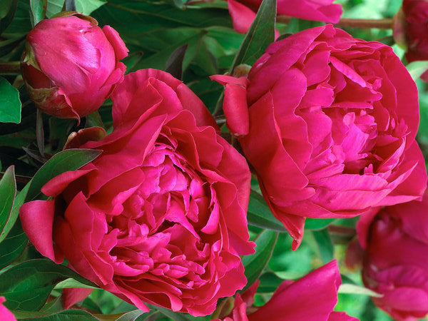 Herbaceous peony 'Karl Rosenfield', potted