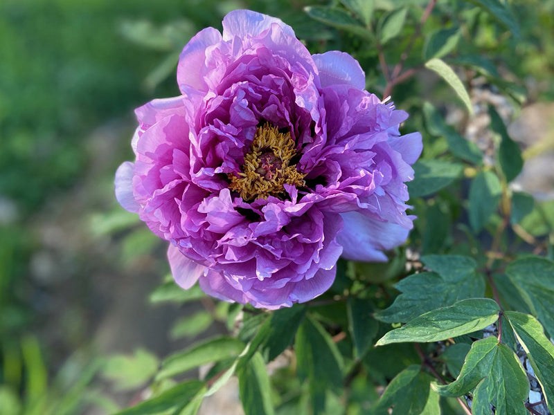 Tamara's Treasure, tree peony WILL BE AVAILABLE FOR FALL 2021
