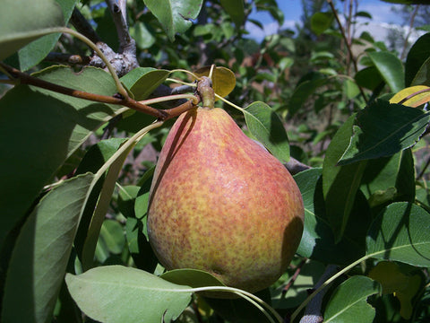 Pear, 'Magness'