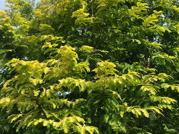 Metasequoia glyptostroboides, 'Ogon' Golden Dawn Redwood