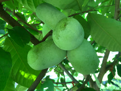 Pawpaw, 'Quaker Delight'