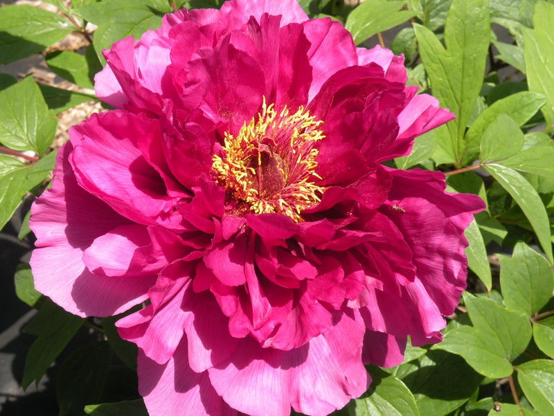 New National Beauty, Japanese tree peony
