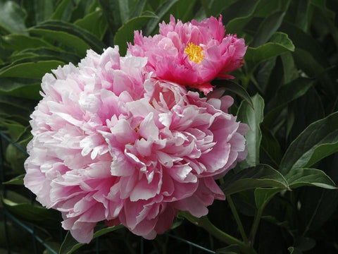 Pink Kisses, herbaceous peony