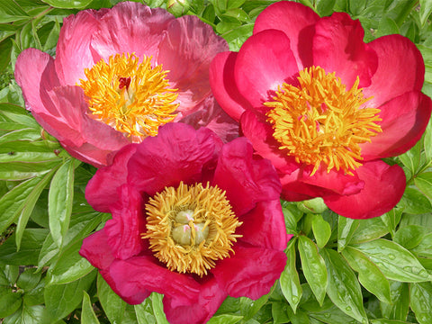 A.P. Saunders hybrid herbaceous peony trio