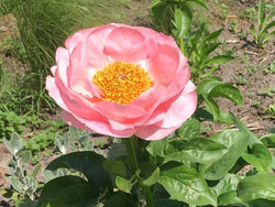Salmon Dream, hybrid herbaceous peony