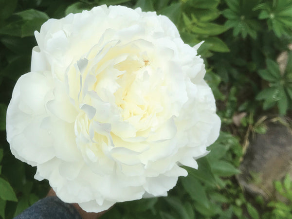 Thura Hires, heirloom herbaceous peony