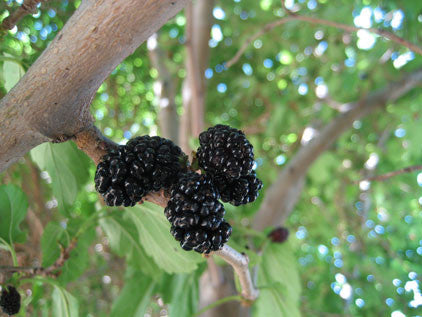 Mulberry, 'Thomas Black'