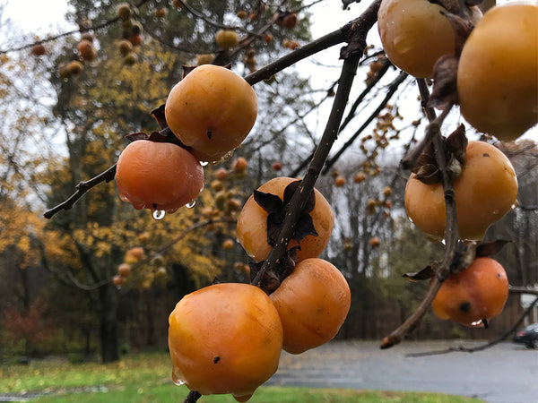 Persimmon, 'Valeene Beauty' AVAILABLE FOR SUMMER/FALL 2021