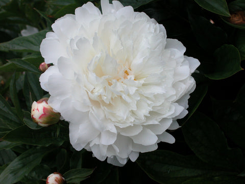 Yang Gui Fei Steps Out of the Bath, Chinese herbaceous peony