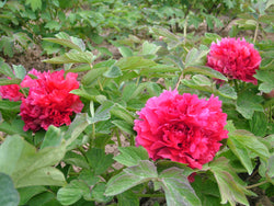Ancient Red, Chinese tree peony