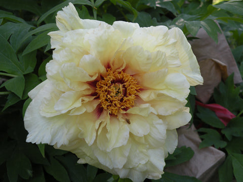 Age of Gold, hybrid tree peony
