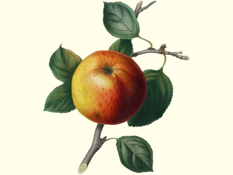 Apple, heirloom 'Mother'