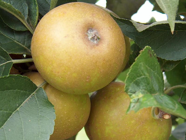 Apple, heirloom 'Ashmead's Kernel'