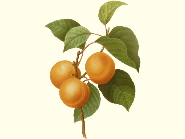 Apricot, 'Puget Gold' scion