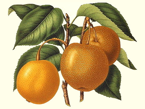 Asian pear, 'Hong Pai Li' scion